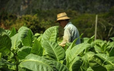 Tobacco Harvesting Methods