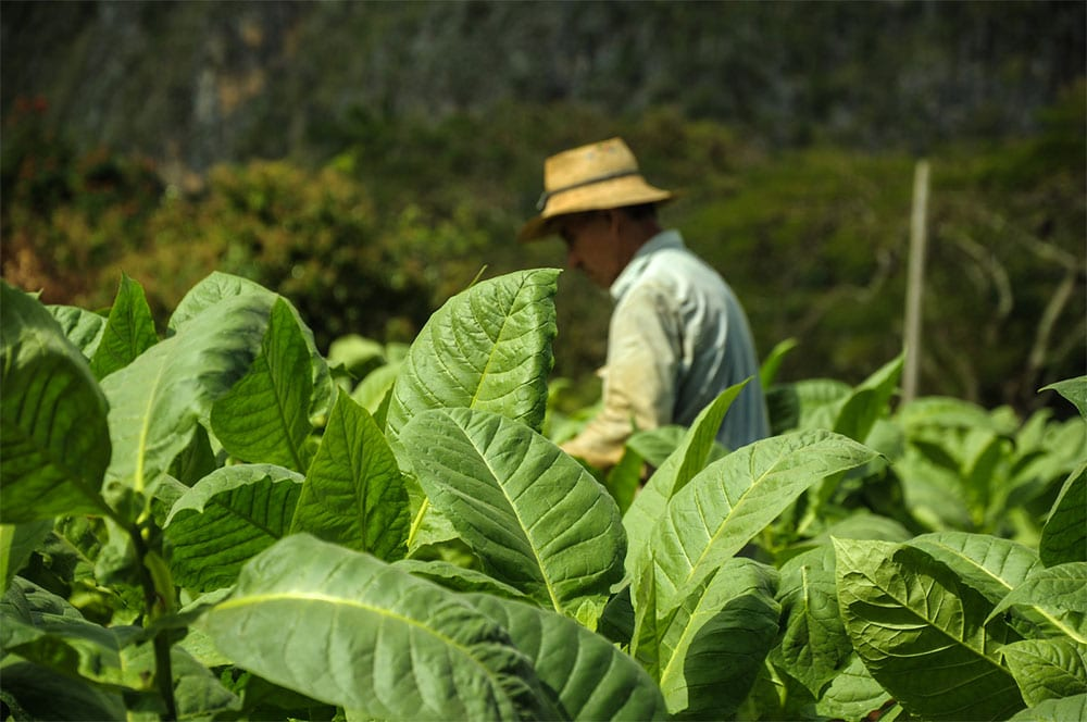 tobacco-harvesting-methods